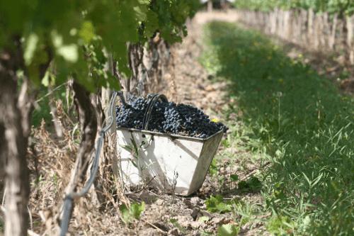 Weinlese beim Weingut Susana Balbo