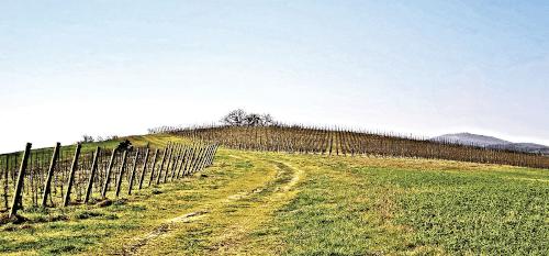 Buscaretos Weinberg der Verdicchio Trauben in der Nähe Arcevia
