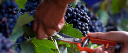 Pinot Noir is one half of the grapes for Graham Beck sparkling wine