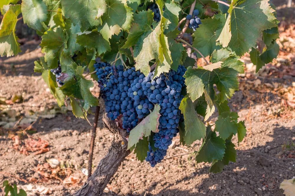 Nero d'Avola wijnstok aan de wijnstok