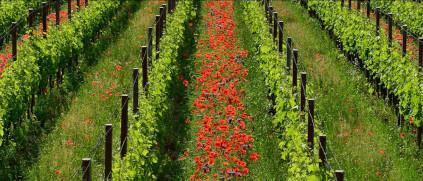 Healthy nature produces healthy vines