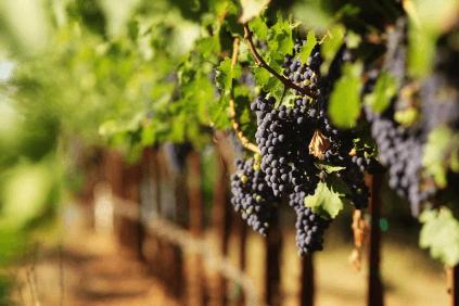 The grapes ripen