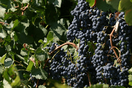 Nero d'Avola grapes in Sicily from Cantine Minini