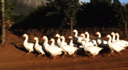 The geese march through the vineyards