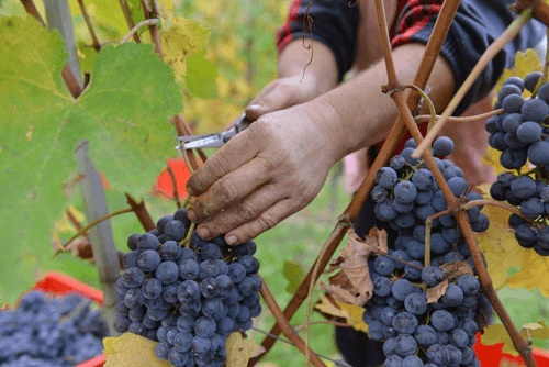 Weinlese bei Sartirano