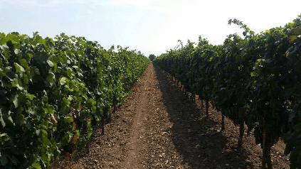 A vineyard in Puglia from Cantine Minini
