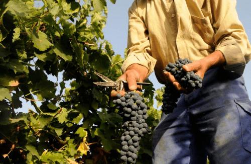 Careful hand-picking at Huerta de Albala