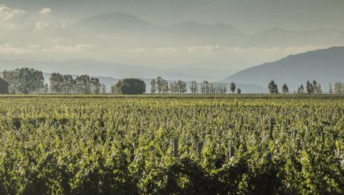 The vineyards of Dieter Meier in Argentina
