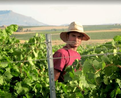 Harvest at Firriato