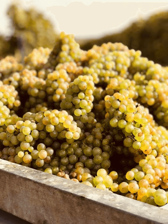 Ripe white grapes from Weingut Korrell