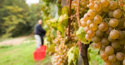 The Cortese grapes for the Gavi di Gavi wine