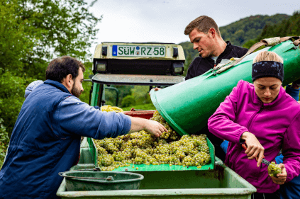 Harvesting at Rebholz