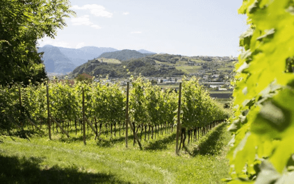 Rows of vines from Abtei Muri-Gries