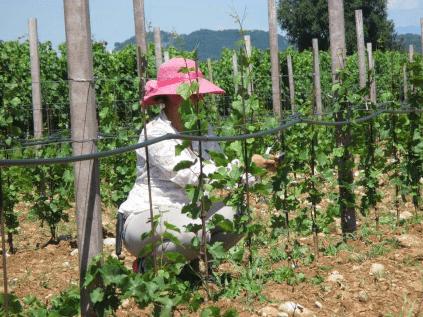 Harvest at Lis Neris