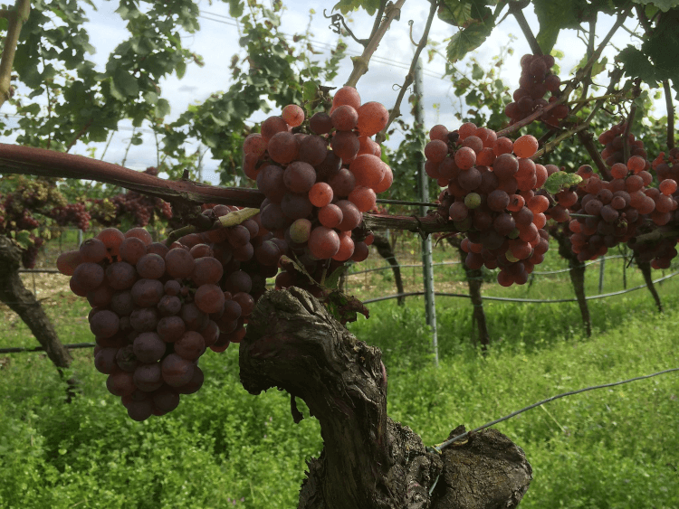 red, ripe grapes from Winery Lukas Kesselring
