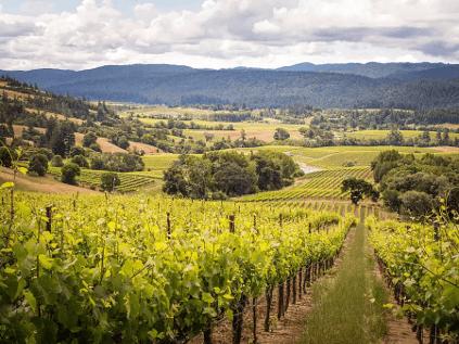 Blick auf einen Weinberg im Anderson Valley