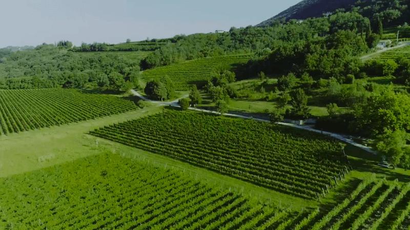 Borgo-Conventi-gruener-Weinberg