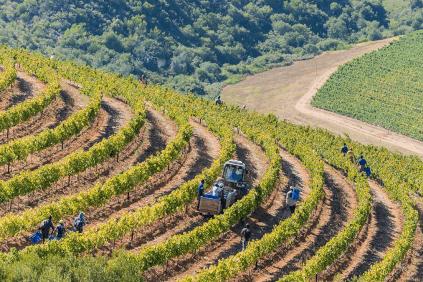 Vineyard Kanonkop