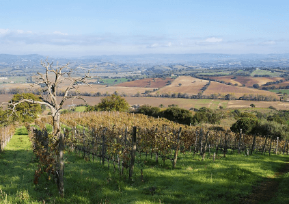 Through the vineyards of Fattoria le Pupille