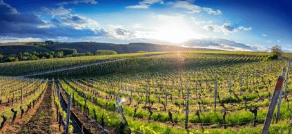 Weinbau in Franken