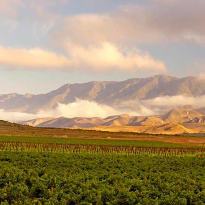 A vineyard at Robertson by Graham Beck