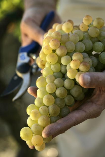 Cortese Trauben für Gavi Wein
