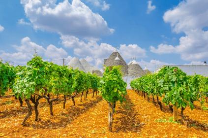 Reben in Apulien mit den typischen Trulli im Hintergrund