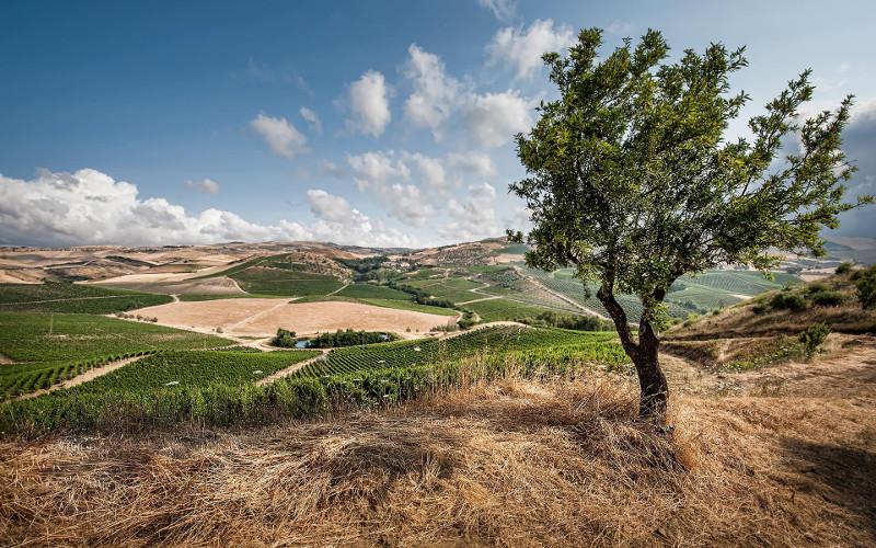 vineyards from Tasca d'Almerita