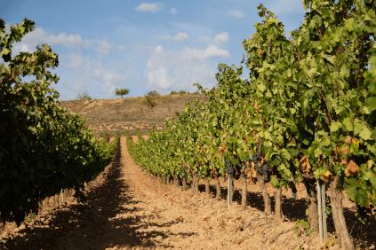 Vineyards below the Castillo