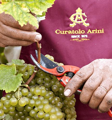 Traubenlese bei Curatolo Arini