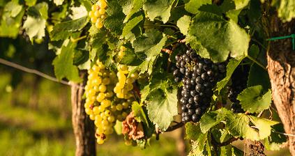 Trauben für die Schlumberger-Weine