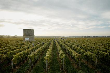 Long vine rows of Château Coutet